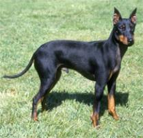 Manchester Terrier (Standard) Dog Breed