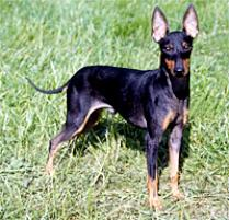 Toy Manchester Terrier, Picture Of Array : Adopt A Manchester Terrier (Toy)   Dog Breeds   Petfinder: Adopt a Manchester Terrier (Toy)   Dog Breeds   Petfinder