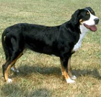 Greater Swiss Mountain Dog Dog Breed