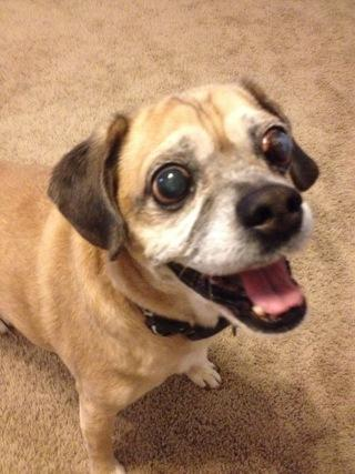 Arizona Puggle Rescue, Inc.