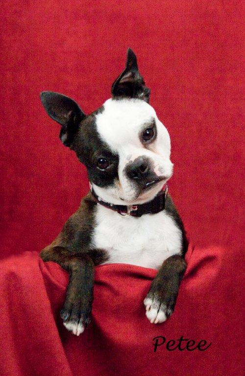 Boston terrier resue