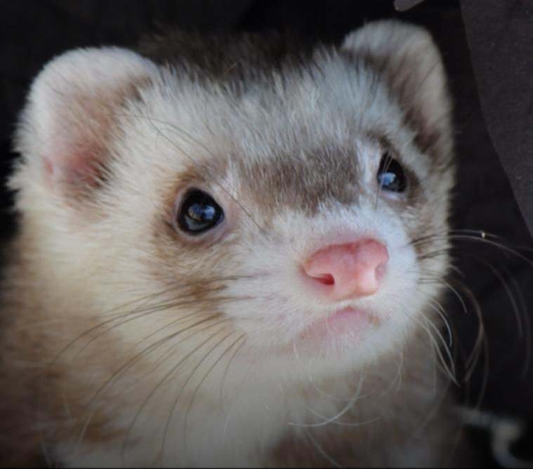 Kindness Matters Ferret Rescue