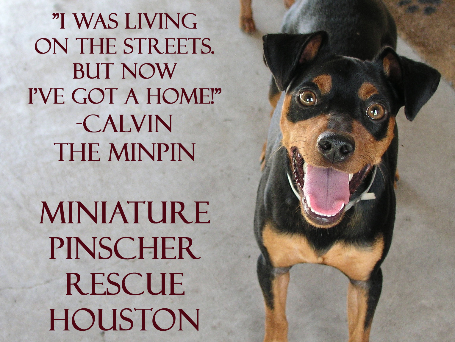 Miniature Pinscher Rescue Houston