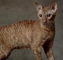 Cornish Rex Cat. •••••••••••