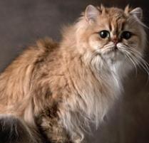 Persian Cat | Cat Breeds | Petfinder