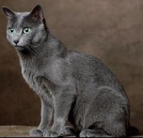 Russian Blue Calico Cat