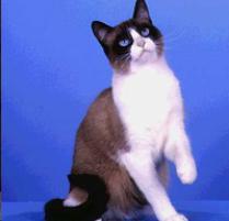Snowshoe Cat. •••••••
