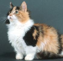 Breeding A Munchkin Cat With A Munchkin