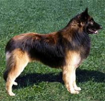 Belgium Dog Breeds