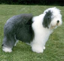 Adopt an Old English Sheepdog | Dog Breeds | Petfinder