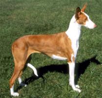 Adopt an Ibizan Hound | Dog Breeds | Petfinder