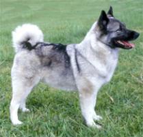 Adopt a Norwegian Elkhound | Dog Breeds | Petfinder