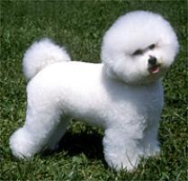 adopt a bichon frise dog breeds petfinder bichon frise 200x192