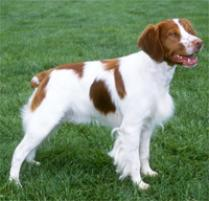 Brittany Dog Breed