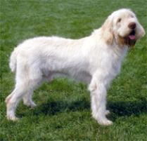 Adopt a Spinone Italiano | Dog Breeds | Petfinder