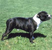 "Home » Search results for ""Staffordshire Bull Terrier Dog Breed ..."