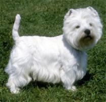 Adopt a West Highland White Terrier | Dog Breeds | Petfinder