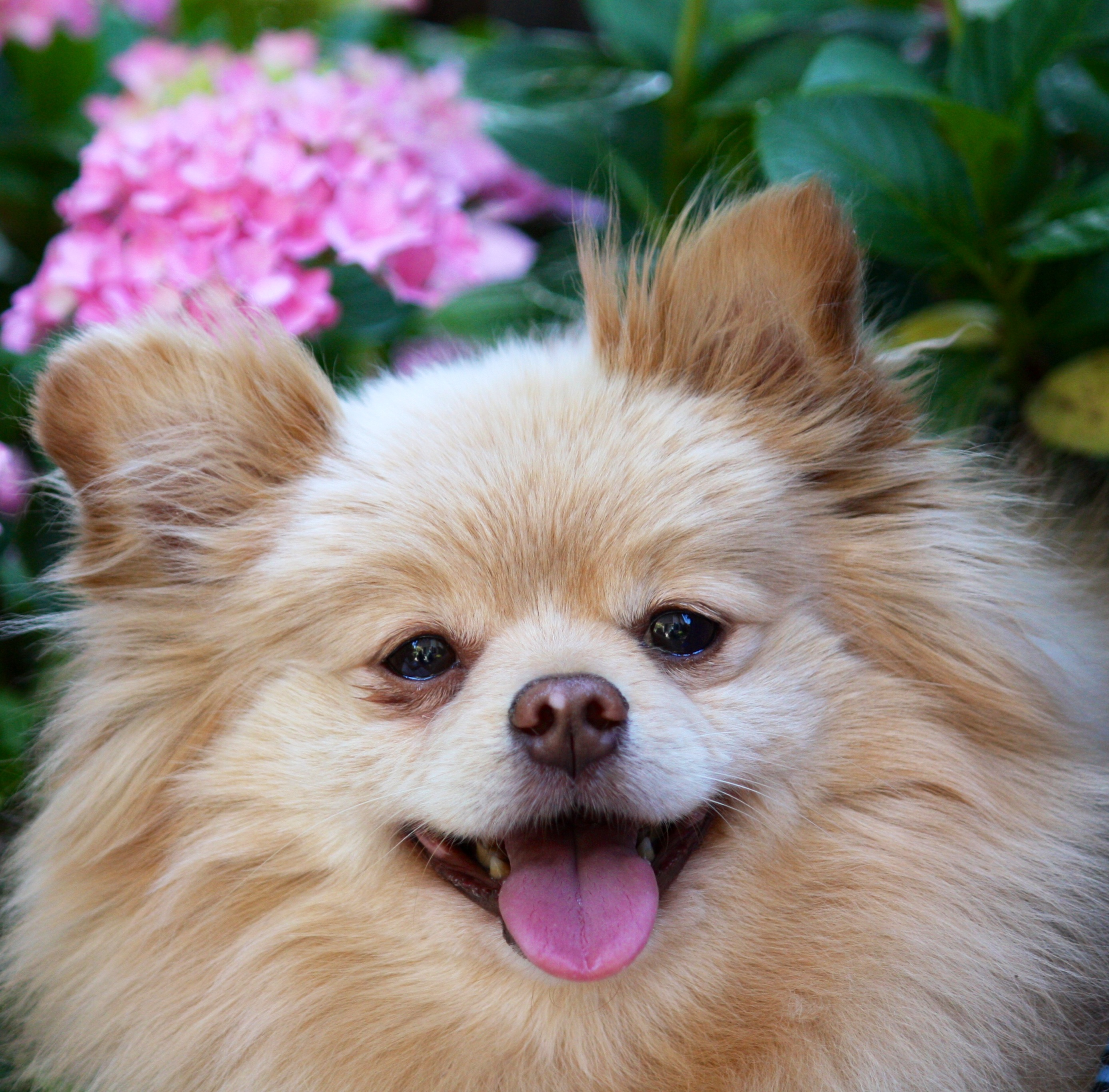 Pomeranian Rescue Group | Petfinder.com