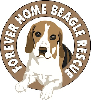 Forever Home Beagle Rescue